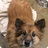 Adopt A Pet :: Simba - Oak Ridge, NJ