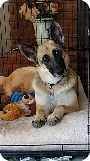 German Shepherd Dog Dog for adoption in San Diego, California - Lucy Too