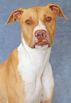 Labrador Retriever/Pit Bull Terrier Mix Dog for adoption in Encinitas, California - Reed