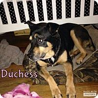 Adopt A Pet :: Duchess - Rowlett, TX