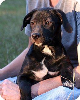 American Bulldog/Labrador Retriever Mix Puppy for adoption in New City, New York - Simki