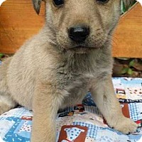 Shepherd (Unknown Type) Mix Puppy for adoption in New York, New York - Gus