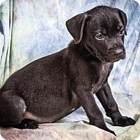 Adopt A Pet :: HAMILTON - Anna, IL
