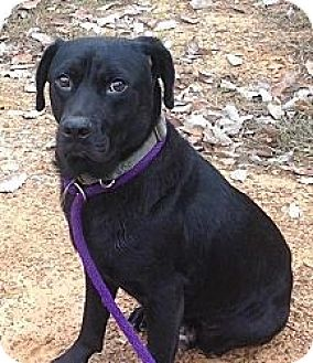 Labrador Retriever Mix Dog for adoption in Manchester, New Hampshire - Midnight