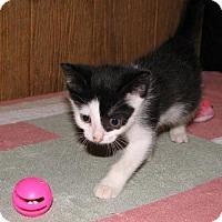 Adopt A Pet :: Neala (baby girl) - Harrisburg, PA