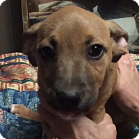 Labrador Retriever Mix Puppy for adoption in Albany, New York - Emily Lucy