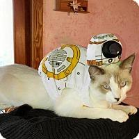 Siamese Kitten for adoption in Austin, Texas - Paco