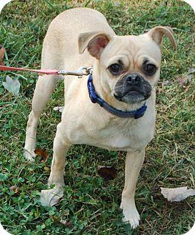 Pug Dog for adoption in Winder, Georgia - Shelley