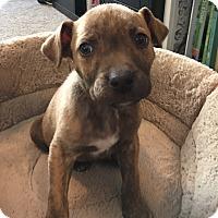 Adopt A Pet :: Sam (DENVER) - Fort Collins, CO