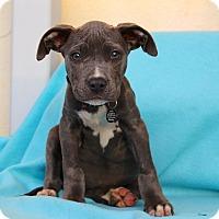 Adopt A Pet :: Diamond - Los Angeles, CA