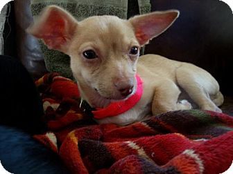 Chihuahua Mix Puppy for adoption in Grafton, Wisconsin - MoMo