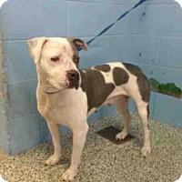 Adopt A Pet :: A500232 - San Bernardino, CA