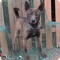 Adopt A Pet :: Shrek - Springfield, VA