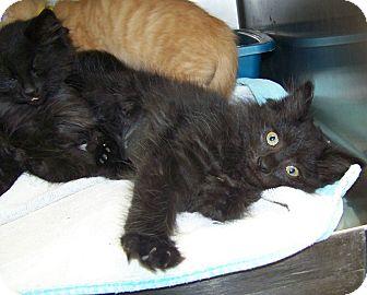 Domestic Longhair Kitten for adoption in Dover, Ohio - Ranger