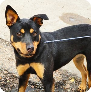 Rottweiler/Shepherd (Unknown Type) Mix Puppy for adoption in Charlemont, Massachusetts - Lucy