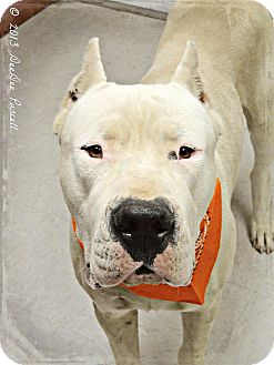 Dogo Argentino Dog for adoption in Phoenix, Arizona - Ivan-Adoption Pending