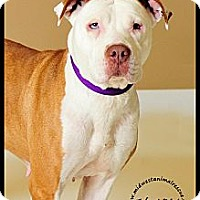 American Staffordshire Terrier Dog for adoption in Minneapolis, Minnesota - Sookie