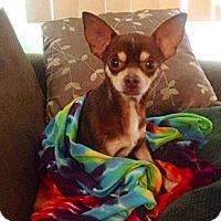 Adopt A Pet :: Hershey - Pembroke pInes, FL