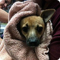 Chihuahua Dog for adoption in SAN ANTONIO, Texas - Lil Bit