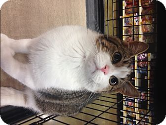 Domestic Shorthair Kitten for adoption in Los Angeles, California - Winston /Spice