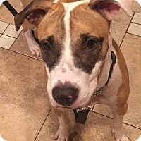 Hound (Unknown Type)/Pit Bull Terrier Mix Puppy for adoption in North Haledon, New Jersey - Lilah
