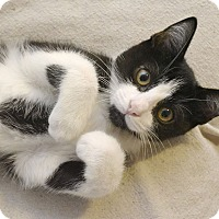 Adopt A Pet :: Biscuit Kitty - Knoxville, TN
