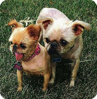 Brussels Griffon Dog for adoption in Overland, Kansas - OLIVIA & BOB - Adopted