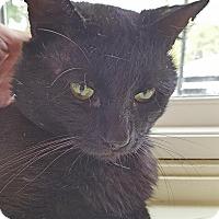 Adopt A Pet :: Chicory - Salisbury, MA