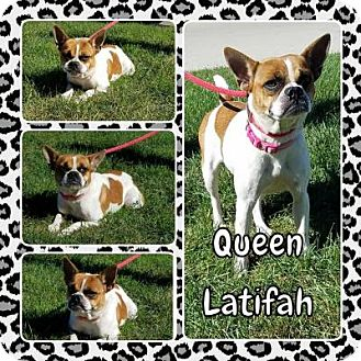Boston Terrier Mix Dog for adoption in Plainfield, Illinois - Queen Latifa