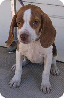 Beagle/Boston Terrier Mix Puppy for adoption in Birch Tree, Missouri - Chili