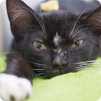 Domestic Shorthair Kitten for adoption in Los Angeles, California - Joanne