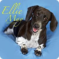 Adopt A Pet :: Ellie May - San Antonio, TX