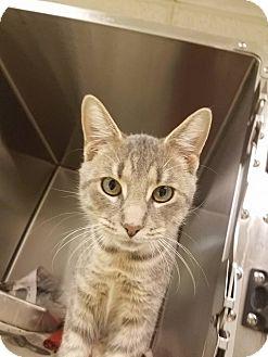 Domestic Mediumhair Cat for adoption in Windsor, Virginia - Patrick Starr