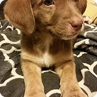 Adopt A Pet :: Marshall - Westport, CT