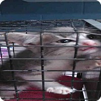 Adopt A Pet :: BRIANNA - Jacksonville, FL