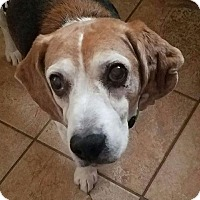 Beagle Dog for adoption in Las Vegas, Nevada - Rascal