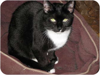 Domestic Shorthair Cat for adoption in Fairhope, Alabama - Boots
