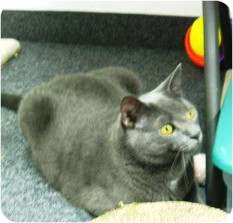 Domestic Shorthair Cat for adoption in Jenkintown, Pennsylvania - Aang