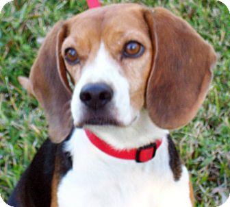 Beagle Dog for adoption in Houston, Texas - Rob