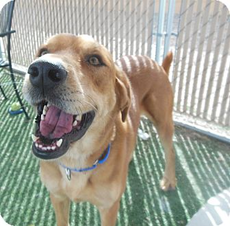Golden Retriever Mix Dog for adoption in Phoenix, Arizona - Thaddeus