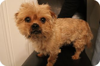 Yorkie, Yorkshire Terrier/Pekingese Mix Dog for adoption in Hamburg, Pennsylvania - Triton