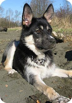 alaskan malamute german shepherd atka adopted adopted puppy north vancouver bc 5911