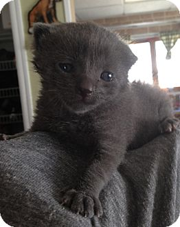 Russian Blue Kitten for adoption in Whitestone, New York - Tony