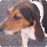 Adopt A Pet :: Lil - Phoenix, AZ
