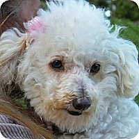 Adopt A Pet :: Angie - La Costa, CA