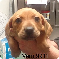 Adopt A Pet :: Vern - baltimore, MD