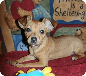 Chihuahua/Terrier (Unknown Type, Small) Mix Puppy for adoption in Seattle, Washington - Scarlett