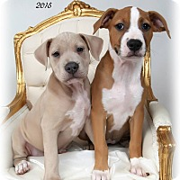 Adopt A Pet :: Puppy sisters: Mallory & Pam - Metairie, LA