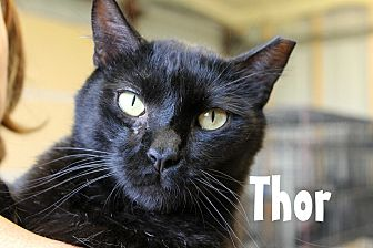 Domestic Shorthair Cat for adoption in Wichita Falls, Texas - Thor