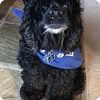 Adopt A Pet :: Cowboy - Seahurst, WA